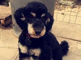 Phantom miniature Poodle for stud (NOT SALE)