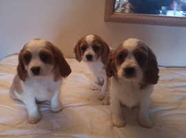 Health Checked Cavalier Puppies