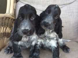 Adorable Cocker Spaniels
