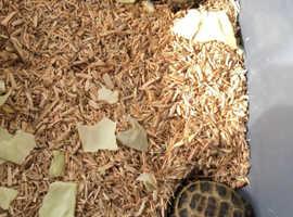 Horse field tortoises