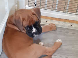 Boxer puppies ready soon