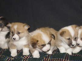 WOW FACTOR  Pembrokeshire Corgi Puppies
