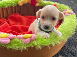 Apricot Jack Russell boy last one left!!