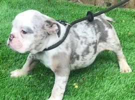 Stunning Lilac tri Merle female British bulldog