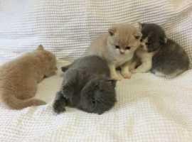 G.C.C.F. Registered British Shorthair Kittens