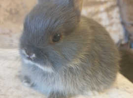 Pure breed netherland dwarf rabbits