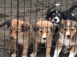 Welsh Sheepdog puppies bold and beautiful