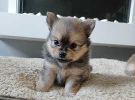 1 beautiful pomchi puppy left