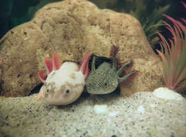 2 Male Axolotls and Full Set Up