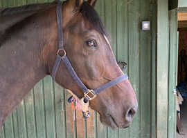 Looking for a sharer for 11yr old 16.1h Handsome Cob Gelding