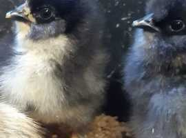 Home Bred Silkie Cross Chicks unsexed