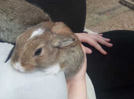 Dwarf eared rabbits