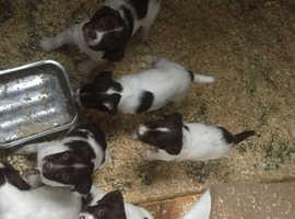 English Springer Spaniel pups