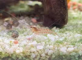 Low grade / wild cherry shrimp