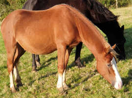 Yearling section c colt