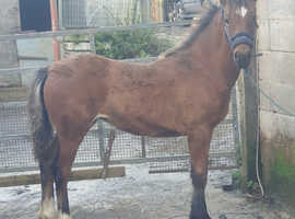 Llethrddu niria Yearling filly