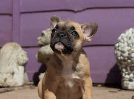 Quality litter of 5 french bulldog puppies for sale