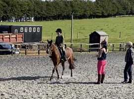 14hh Welsh X Bay Mare