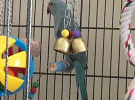 8m old Blue Indian Ringneck for rehoming