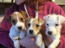 Rough/broken coated Jack Russell puppies