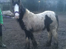 Filly foal to make a big 14'2 hh