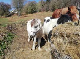 Buckskin Shetland colt rising 2