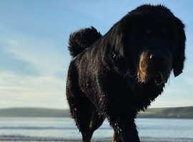 Beautiful Tibetan mastiff