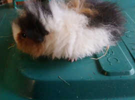 Beautiful lunk male baby guinea pig