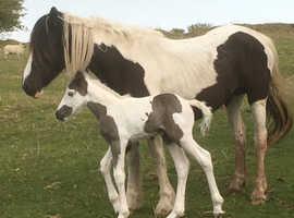 American Paint / Cob X Colt Foal