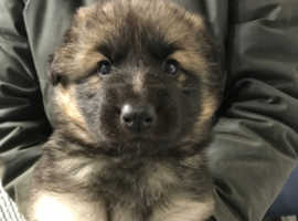 Beautiful German shepherd puppies,two left