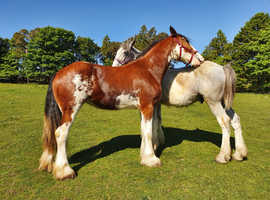 Quality Clydesdale Mare **NOW SOLD  **