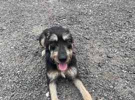 Deerhound cross grayhound