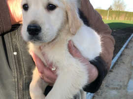 Golden retriever boy puppy