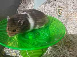 Hamster and large cage
