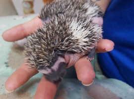 Beautiful African pygmy hedgehogs