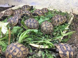 Herman's Tortoise 2018 hatched