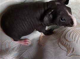 Skinny pig (hairless guinea pig) beautiful baby boy. Must be kept indoors where its warm.