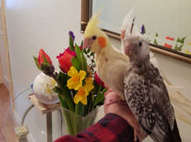 Hand reared cockatiels for sale