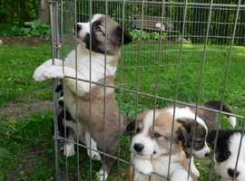 READY NOW Tri Border collie puppies