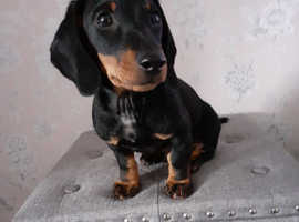 Dachshund boy puppy