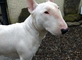 English Bull Terrier female EBT