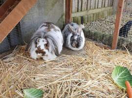 Bunnies x 2 Plus large hutch