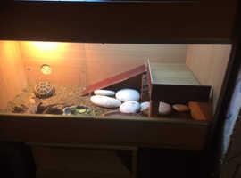 Horsfield tortoise and vivarium setup!