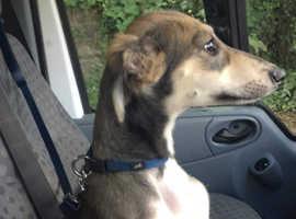 Saluki greyhound