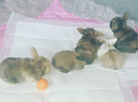 Baby mini lops ready 1st of November