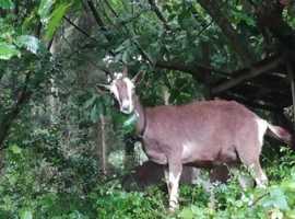 British Toggenberg goats