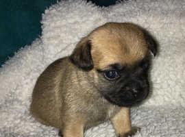 ***Beautiful Chug Puppies for Sale***