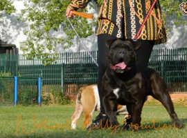 Impeccable Olde English Bulldog