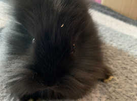 Beautiful baby bunnies **ready now**