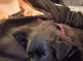 Puppy kelpie Cross collie
